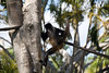 Very Well Hung Black Handed Spider Monkey playing at the Palm Beach Zoo