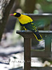 Black Naped Oriole @ The Palm Beach Zoo