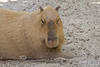 Capybara sleeping at the Palm Beach Zoo