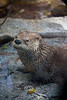 River Otter at the Palm Beach Zoo
