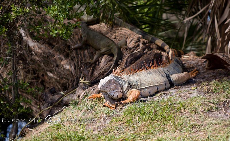 Big Rhinoceros Iguana lounging at the Palm Beach Zoo