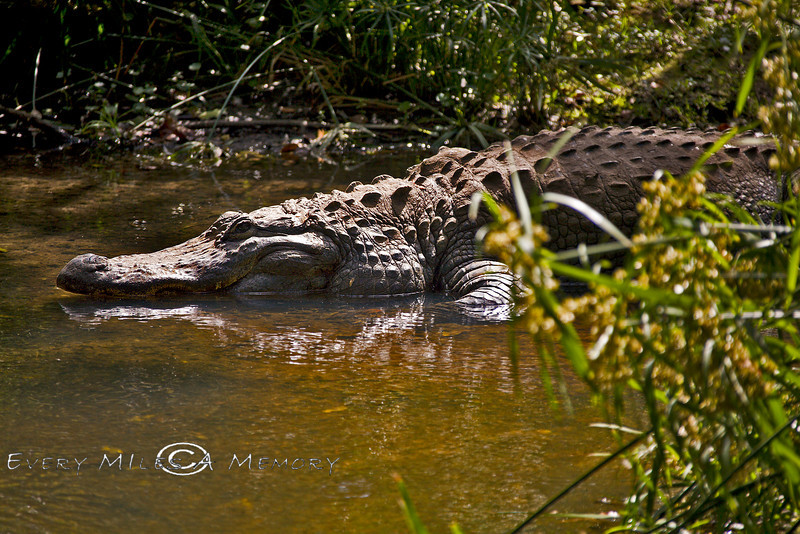 Giant Croc at the Palm Beach Zoo