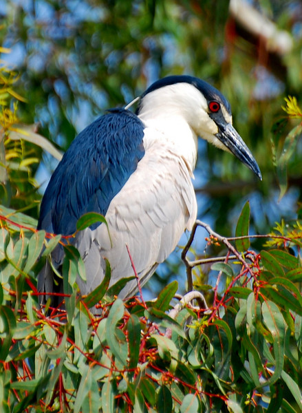 Black-crowned Night Heron (Nycticorax nycticorax).  This guy didn't seem to want to be near the snowy egrets, he was in a tree by himself.