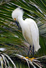 Snowy egret.  There were lots of them in the palm trees, lots of preening.