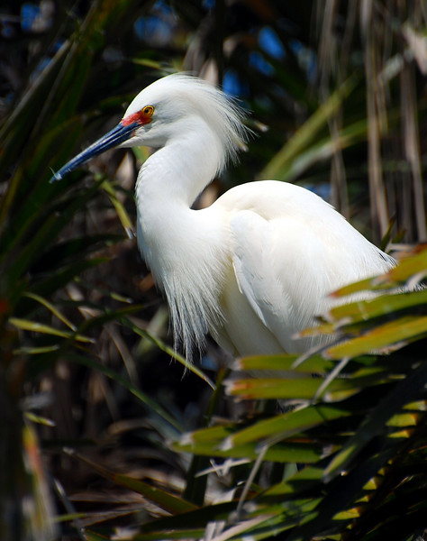 Another snowy egret.  With a bunch of them in these palms, they were very talkative, and they have really funny almost human sounding voices.  Not at all what I expected!