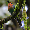 """Broad-billed Motmot, near Canopy Lodge.  Not a particularly good photo, but it shows why """"broad-billed"""" in the name."""
