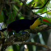 Keeled-billed Toucan