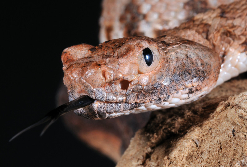 Panamint Rattlesnake UK captive bred 2010 -male
