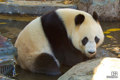 Wang Wang at the Adelaide Zoo