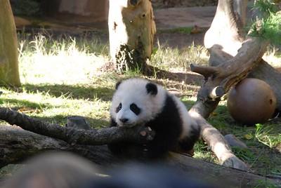 Pandas 2007
