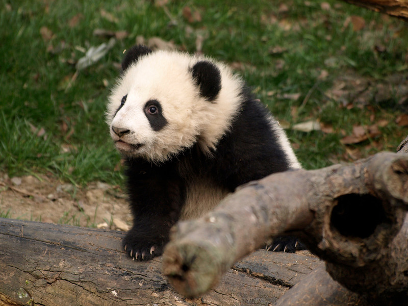 Baby at the Chengdu facility.