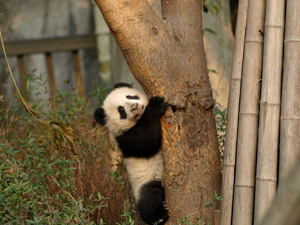 Baby just learning to climb at the Chengdu facility.