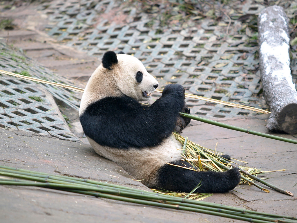 Pandas process bamboo like a wood chipper - see processed bamboo on his belly.In a compound at the Bifeng facility.
