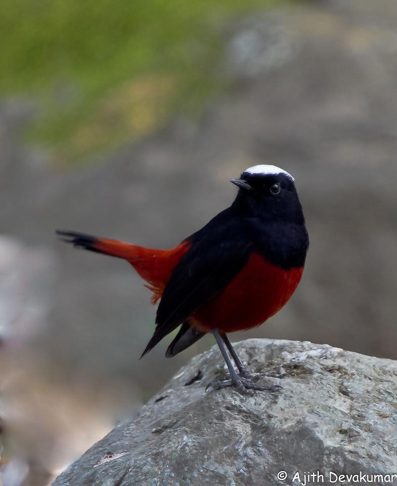 White-capped Water Redstart
