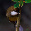 White-throated Laughing Thrush