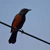 Chestnut-bellied Rock Thrush