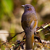 Streaked Laughing Thrush