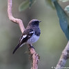 Blue-capped Redstart
