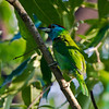 Blue-cheeked Barbet