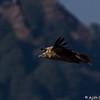 Eurasian Griffon