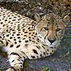 Charlie, the cheetah.