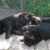 30 deg C and nothing to do but snooze in the shade for these black bears.