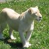 Female white lion surveying her fans