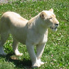 Female white lion surveying her fans