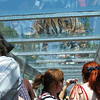 Playful tiger pounces up onto covered glass walk way