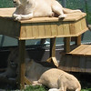 2 year old white lions, the new stars at the park.