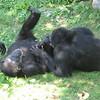 The chimp on the left sleeps just like Jaden.