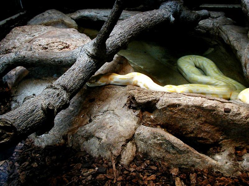 SanDiego albino python