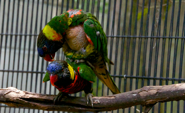 Parrot Sex