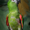 Sweetie, a Hahn's Macaw, is looking for a home.