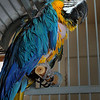 Inca, a Blue and Gold Macaw, is still looking for a home.