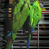 Harley, a Military Macaw - maybe a hybrid, and Cleo, a Nanday Conure.  Cleo has a new home and Harley is still looking.