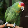Polly, a Lilac-Crowned Amazon, is looking for a home.