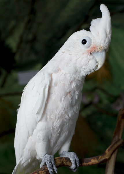 Cooper, a Goffin Cockatoo, has a new home.