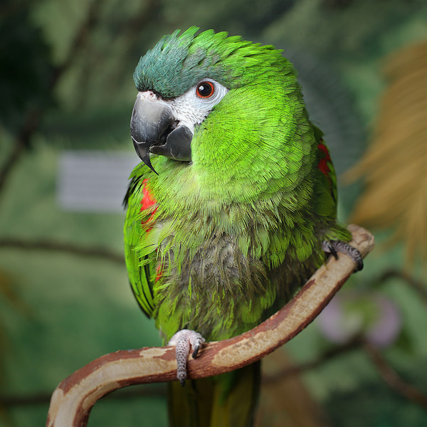 Gabby, a Hahn's Macaw, is looking for a home.