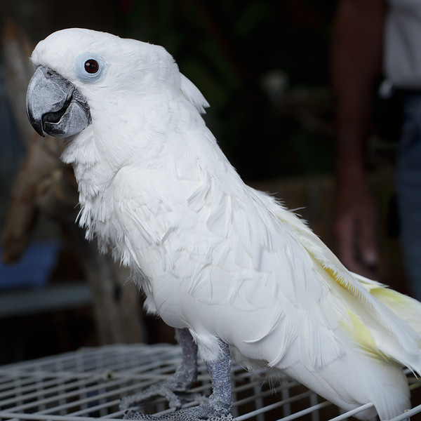 Alvin, a Sulphur Crested cockatoo (I think), has a new home.