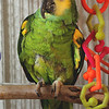 Fidora, a Blue-Fronted Amazon. She has arthritis and is blind in one eye.
