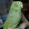 Maxi, a Yellow-Crowned Amazon, is looking for a new home.