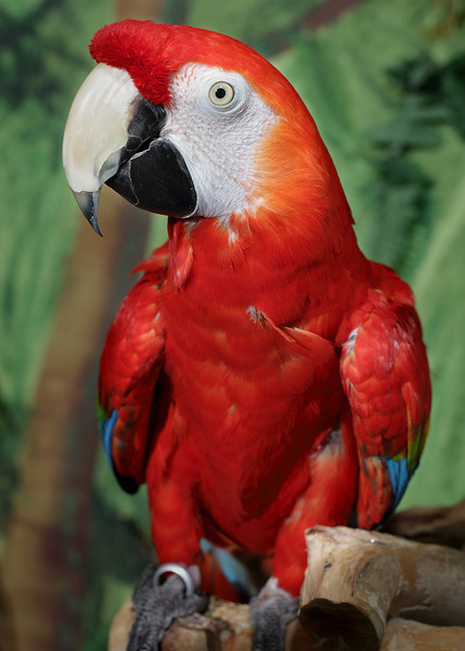 Baby, a Green-Winged Macaw, resides at the rescue.