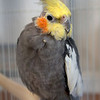 Mikey, a Cockatiel, was living on his own in Colorado. He's looking for a home.