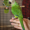 Dusty, a Dusky Conure, has a new home now.