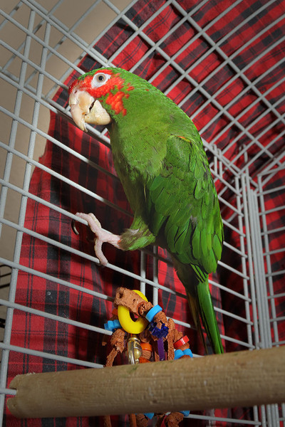 Tequila, a Cherry-Headed Conure, lived in a home where she picked up some bad language. She's looking for a home.