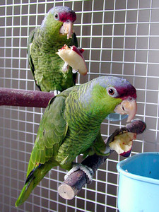 Lilac Crowned Amazon Pair
