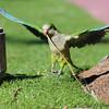 Wild parrot - Miami Beach