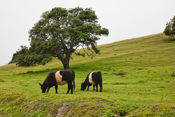Galloways on a Cloudy Morning in Napa