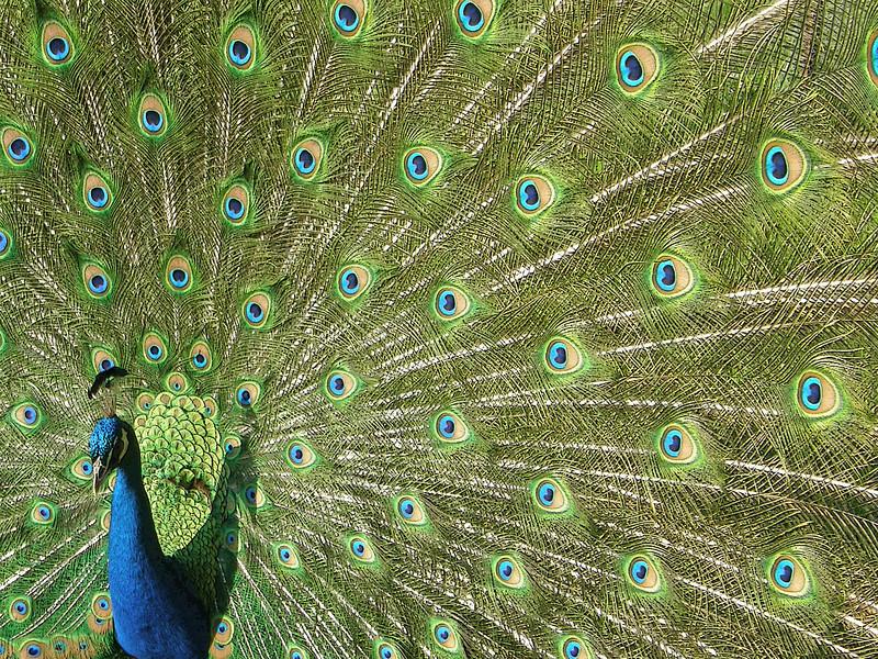 Peacock Elegance